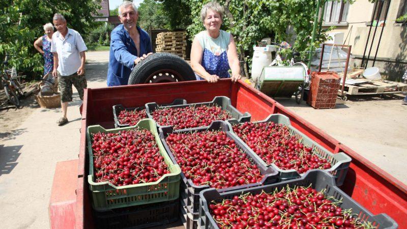 Nagykörû, 2011. június 14. Utánfutóval tolják be a frissen leszüretelt termést helyi gazdák Marsi István felvásárló udvarára, Nagykörûben. Az ország legnagyobb cseresznyéskertjérõl ismert, Tisza-parti településen idén közepes mennyiségû, ám kiváló minõségû gyümölcs termett, melynek zömét kelet-európai piacra, elsõsorban a Baltikum országaiba szállítják a kereskedõk. MTI Fotó: Bugány János