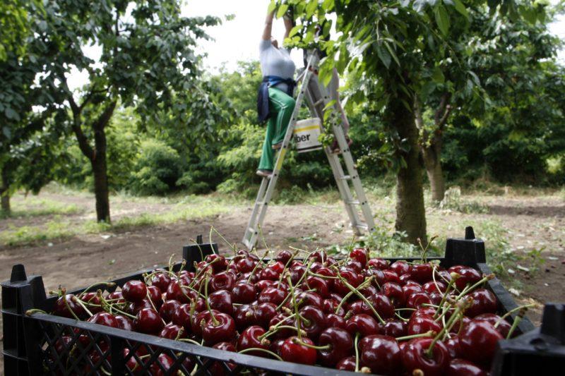 Nagykörû, 2015. június 19. Közfoglalkoztatottak szedik a cseresznyét az ország cseresznyéskertjének is nevezett Nagykörûben 2015. június 19-én. MTI Fotó: Bugány János
