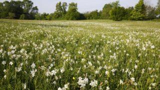 Babócsa, 2018. április 30. Virágzik a csillagos nárcisz (Narcissus poeticus subsp. radiiflorus) a Babócsa határában fekvõ Basa-kertben 2018. április 30-án. MTI Fotó: Varga György