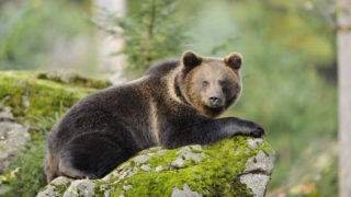 botany,plant, plants, flora,moss,geography,Europe,Germany,Bavaria,animal,mammal,predator,bear, bears, Ursidae,brown bear, Ursus arctos,material,stone,lying down, lying, lie, laying, lay, reclining, recline,landscape,rocks,nature reserve, Nature Reserves,national park, national parks,stone,horizontal, horizontal format,nobody,full-length, full body, full length,photograph,focus,Differential Focus, selective focus, selectively focussed,focus on foreground,sideviews, side, side view, side views, sideview,color, coloured, colored, colors, colours,outdoor, outside, outdoor shots, outdoor shot, outdoors,nature,day,Vertebrate,wildlife,western europe,central europe,Southern Germany,boulders, boulder, rock, rocks,Bavarian Forest, Bayerischer Wald,one animal,Bavarian Forest National Park,outdoor [(c) F1online www.f1online.de, Tel. 069/80069-0, E-Mail:agency@f1online.de ]