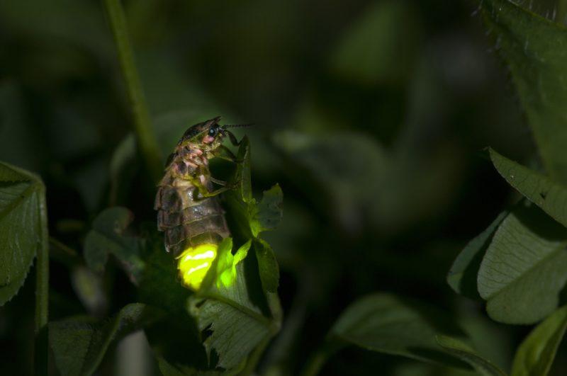 BOUXIÈRES AUX DAMES Female Glow-worm glowing in a garden at night France .  Biosphoto / Stéphane Vitzthum