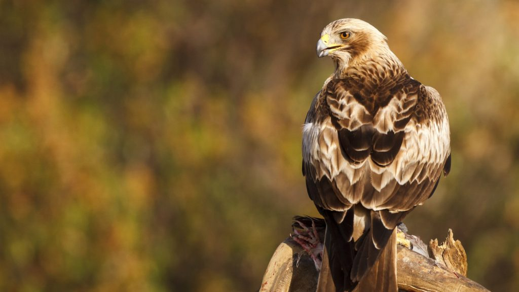 Booted eagle on a branch - Avila Spain.    Biosphoto / Oscar Diez