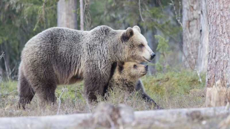 Brown bear (Ursus arctos) and cub one year old in forest, Finland.    Biosphoto / Sylvain Cordier