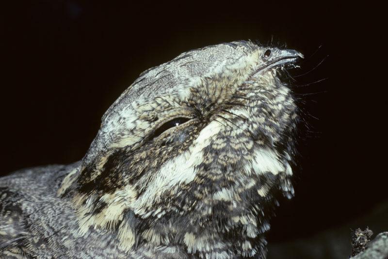 Portait of an Eurasian Nightjar in Gourdon France.  Biosphoto / Annie & Jean-Claude Malausa