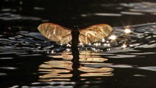 Nagykörû, 2017. június 19.  Repülõ tiszavirág (Palingenia longicauda) a Tiszán, Nagykörû közelében 2017. június 18-án. A legnagyobb termetû kérészfajunk a tiszavirág, természetvédelmi értéke egyedenként tízezer forint. A kérész napjainkra csak a Tiszán, illetve egy-két mellékfolyóján - fõként a Kõrösön - lelhetõ fel. MTI Fotó: Bugány János
