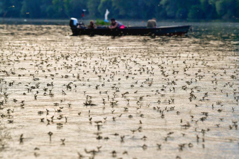 Tiszacsege, 2018. június 11. Tiszavirágok (Polingenia longicauda) a Tisza tiszacsegei szakaszán 2018. június 10-én. A tiszavirág és a vele rokon fajok az ipari forradalom elõtt még egész Európában elõfordultak, a szennyezések miatt azonban ma már csak a Tiszán és mellékfolyóin figyelhetõk meg. A faj védett, állományát a vízszennyezés mellett veszélyezteti a folyómeder kikövezése is. MTI Fotó: Czeglédi Zsolt