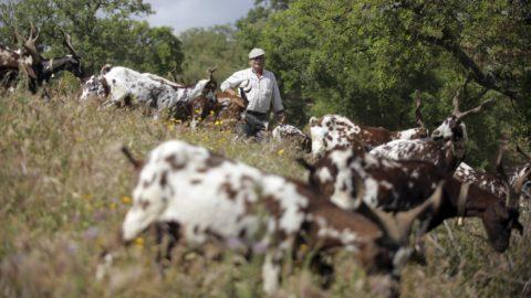 Moita da Guerra, 2018. június 13. Kecskenyáj legel egy hegyoldalon a dél-portugáliai  Moita da Guerra közelében 2018. június 5-én. A portugál kormány kecskék bevetésével vette fel a harcot a nyári erdõtüzek ellen, országszerte több tucatnyi több száz fõs kecskenyáj legel az erdõségekben, hogy a lehetõ legnagyobb mértékben megtisztítsa azokat az aljnövényzettõl. (MTI/AP/Armando Franca)