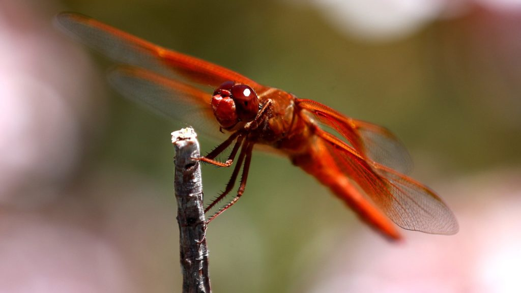 Topanga, 2018. június 19. Petárda szitakötõ (Libellula saturata) pihen egy faágon a kaliforniai Topangában 2018. június 18-án. A piros szárnyú és testû rovar fõként tavak és lassú folyású vizek mentén él az Egyesült Államok nyugati térségében. (MTI/EPA/Mike Nelson)