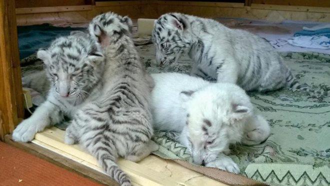 Külföldi kérők jelentkeztek a Felsőlajoson született fehér bengáli  tigriskölykökért | Sokszínű vidék