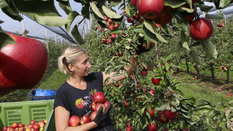 Csorvás, 2017. szeptember 27. Nõ szedi a Golden almát a csorvási Hunapfel 23 hektáros gyümölcsfa ültetvényén 2017. szeptember 27-én. Az ültetvényen hatvan embernek adnak munkát a várhatóan 800 tonna gyümölcs leszüretelésének idején. Az idén igen jó minõségû termést külföldre és belföldre egyaránt értékesítik. MTI Fotó: Lehoczky Péter