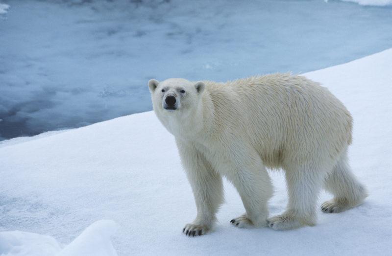 Polar Bear on Ice, Yukon