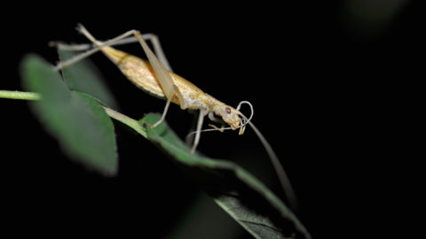 Secretive insect known to many only make sounds