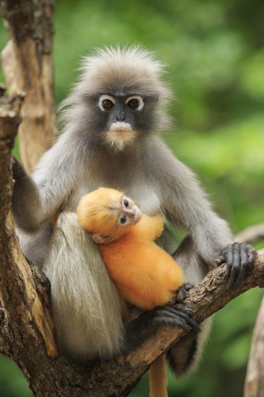 motherhood of Dusky leaf monkey, Dusky langur in southern of thailand
