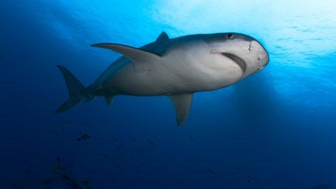 Downside view Tiger Shark (Galeocerdo cuvier), Tahiti, French Polynesia.    Biosphoto / Cyrille Mulard