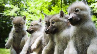 Nyíregyháza, 2011. június 9. Az öt kanadai fehérfarkas-kölyök (Canis lupus tundrarum) a Nyíregyházi Állatparkban, ahol a rendkívül ritka fajból négy nõstény és egy hím kölyök született hat hete. MTI Fotó: Balázs Attila