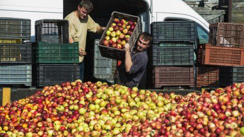 Nagykálló, 2014. október 11. Almatermelõk borítják almájukat a garatba a Brix-Trade Kft. sûrítménykészítõ üzemének telephelyén Nagykállóban 2014. október 11-én. A mai napon kezdte meg az ipari alma felvásárlását a Magyar Nemzeti Kereskedõház (MNKH) Zrt. A túltermelés okozta almapiaci válság enyhítésére indított kereskedõházi programban Vaján, Mátészalkán és Nagykállóban veszik át a termelõktõl a gyümölcsöt. MTI Fotó: Balázs Attila
