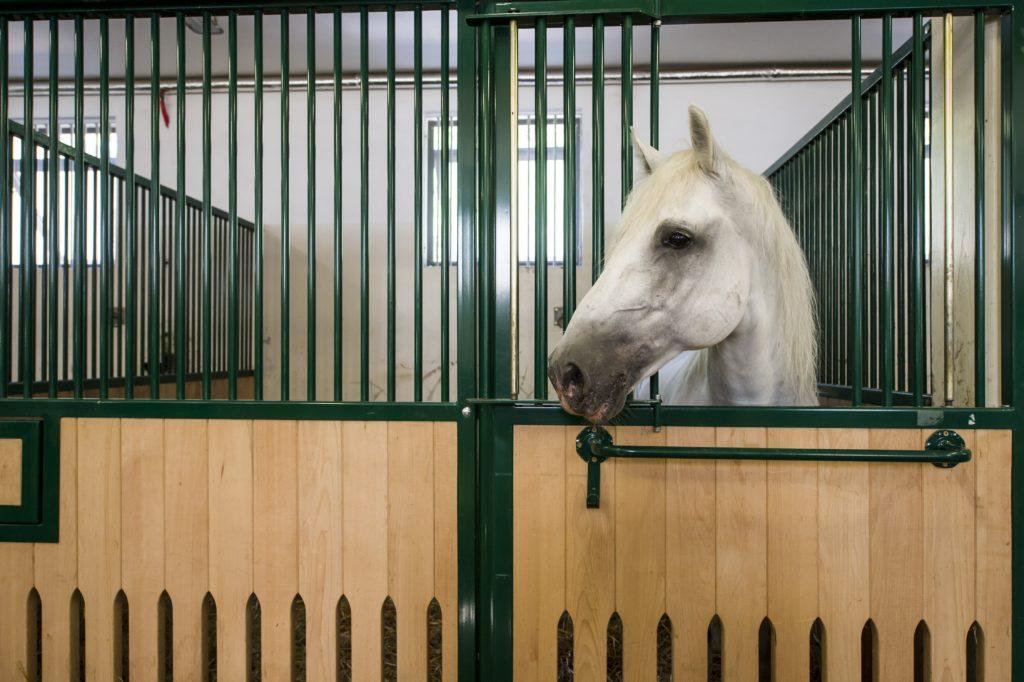 Szilvásvárad, 2018. augusztus 17. Ló áll istállójában az új lipicai lovasközpontban Szilvásváradon a megnyitó elõtti napon, 2018. augusztus 17-én. MTI Fotó: Komka Péter