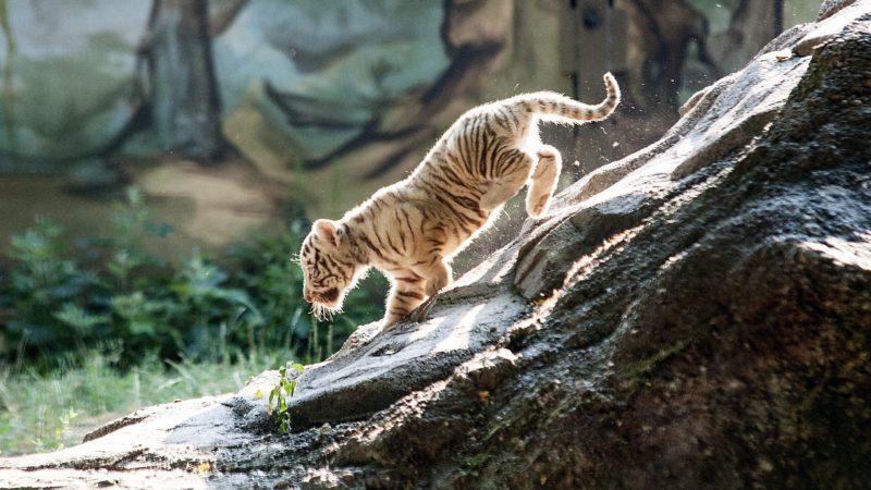 Gyõr, 2015. július 24. Bengáli tigriskölyök a gyõri Xantus János Állatkertben 2015. július 24-én. Az állatkertben május végén négy kistigris született. MTI Fotó: Krizsán Csaba