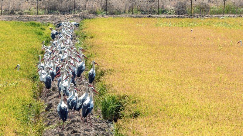 Cádiz, 2018. augusztus 18. Gólyák egy csoportja sétál a kiszáradt La Janda lagúnában a dél-spanyolországi Cádizban 2018. augusztus 18-án. A La Janda Spanyolország egyik legnagyobb lagúnájaként egykor a vándorló madarak paradicsoma volt.  (MTI/EPA/Alfredo Martínez)