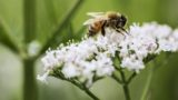 [England] A honeybee collecting pollen from open white flowers in the wild, a cow parsley or hogweed plant.