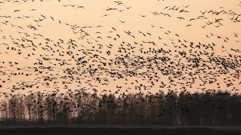 Hortobágy, 2013. október 21. Szürke darvak (Grus grus) repülnek naplemente után éjszakázó helyükre a Hortobágyon, az Elepi tóegység közelében 2013. október 20-án. Európa legnagyobb darugyülekezõ helyén, a Hortobágyi Nemzeti Park területén az október elejei adatok szerint közel 85.500 daru tartózkodik. Az Észak-Európából (zömmel Finnországból) szeptember második felében érkezõ madarak a komolyabb fagyok beköszöntéig maradnak, majd Szicílián, illetve a Boszporuszon keresztül jutnak el észak-afrikai, tunéziai és szudáni telelõ területeikre. MTI Fotó: Czeglédi Zsolt