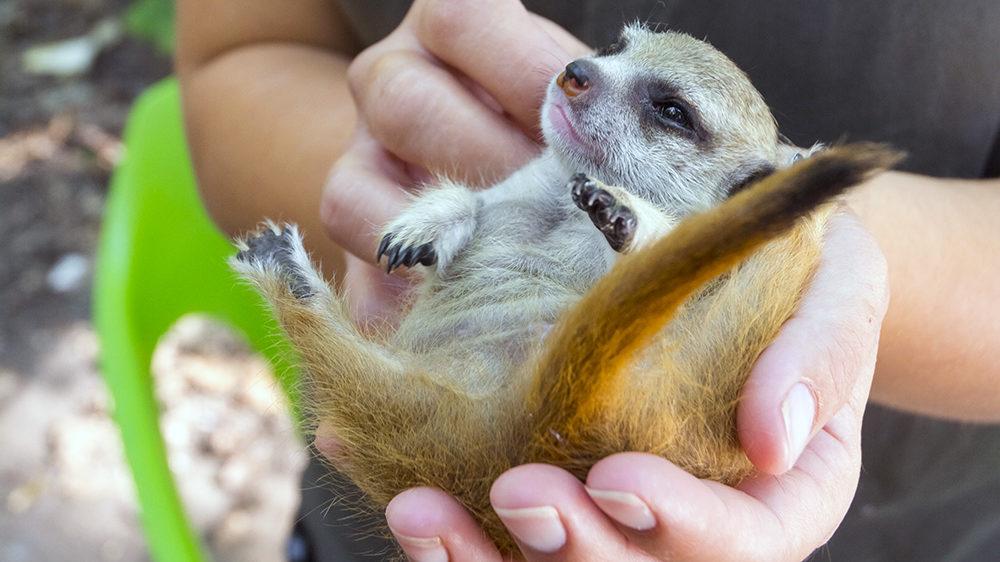 SZEGED, HUNGARY - SEPTEMBER 12. 2018 - Hand rearing a meerkat baby (Suricata suricatta) in Szeged Zoo