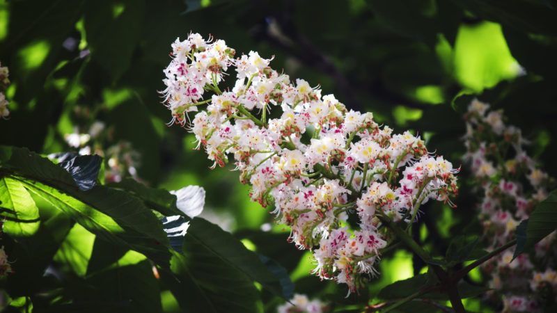 Partially blurred natural background with chestnut flowers, shallow depth of field