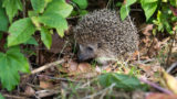 Hedgehog in a surrounding of green leaves