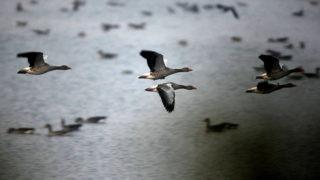 Tata, 2011. november 26. A tóról felszálló vadludak. Közel tízezernyi vadlúd vonulását és az Öreg-tóról való kirepülését figyelhetik meg az érdeklõdõk a hétvégén, a XI. Tatai Vadlúd Sokadalom rendezvényén. Az eurázsiai tundrák vidékérõl érkezõ vadludak évszázadokkal ezelõtt itt, a tatai Öreg-tó leeresztett medrében, a hajdan volt mocsárvidéken találtak pihenõhelyet maguknak hosszú vonulásuk során. Minden év novemberében visszatérnek, hogy a telet nálunk töltsék, majd február végén, március elején visszainduljanak északi költõhelyeik felé. MTI Fotó: Kovács Attila