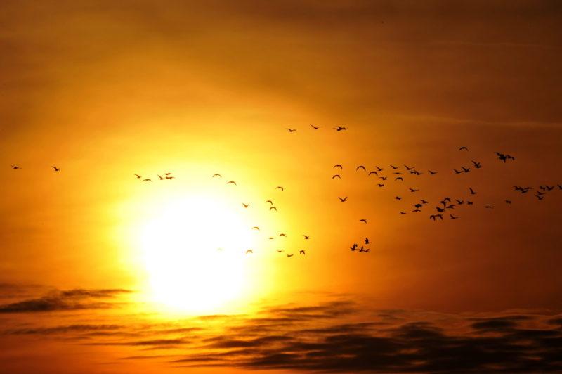 Tata, 2013. november 30. Vadludak esti behúzása a tatai Öreg-tó felett 2013. november 30-án. A hideg idõ meghozta a vadlúdcsapatokat a tatai Öreg-tóra, harmincezer madár reggeli útnak indulásában és esti behúzásában gyönyörködhetnek a hétvégi Vadlúd Sokadalom látogatói. MTI Fotó: Kovács Attila