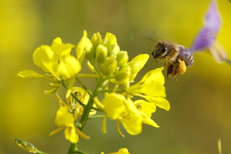 Pusztamagyaród, 2018. október 19. Méh egy virágzó fehér mustáron (Sinapis alba) a Zala megyei Pusztamagyaród határában 2018. október 19-én.  MTI/Varga György