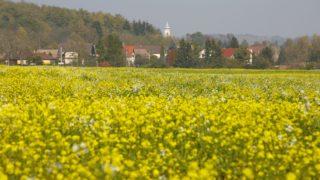 Pusztamagyaród, 2018. október 19. Virágzik a fehér mustár (Sinapis alba) a Zala megyei Pusztamagyaród határában 2018. október 19-én. MTI/Varga György