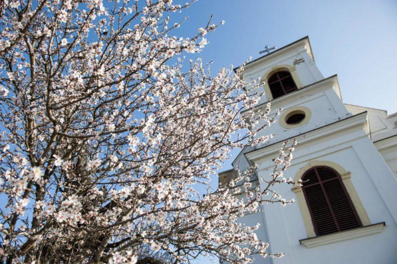 Pécs, 2014. március 9. Virágba borult mandulafa Pécsen a Havi-hegyen 2014. március 9-én. MTI Fotó: Sóki Tamás