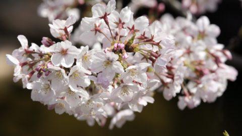Tokió, 2016. március 31. Virágba borult cseresznyefaág a tokiói Ueno Parkban 2016. március 31-én. (MTI/EPA/Majama Kimimasza)