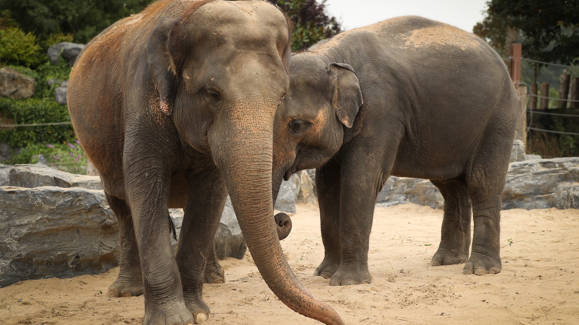 Illustration picture shows Asian elephants at the Pairi Daiza animal park, Monday 20 August 2018, in Brugelette. BELGA PHOTO VIRGINIE LEFOUR