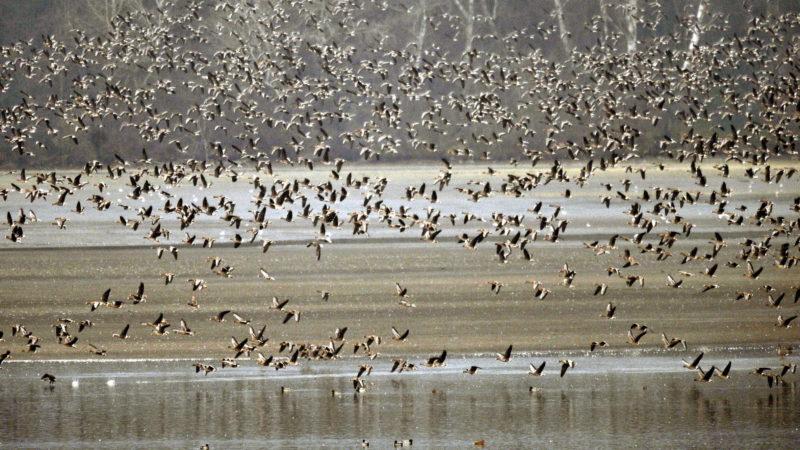 Tata, 2009. november 27. Vadludak tömege száll fel hajnalban a tatai Öreg-tó medrébõl. Az Európa-szerte egyedülálló látványosságra a Magyar Madártani és Természetvédelmi Egyesület munkatársai 2009. november 27-én és 28-án kilencedik alkalommal hívják meg az érdeklõdõket a Tatai Vadlúd Sokadalomra, a Szibériából és Skandináviából érkezõ madarak egyik legnagyobb telelõhelyére. MTI Fotó: Beliczay László