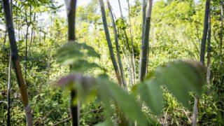 Dorog, 2016. május 26. Vegyszerrel kezelt bálványfák Dorog közelében 2016. május 26-án. A távol-keleti eredetû fa Közép-Európa legveszélyesebb invazív fafaja, kiszorítja az õshonos fafajokat. A Pilisi Parkerdõ Zrt. több mint négyszáz hektárnyi területen, 122 millió forintnyi uniós forrást fordított a bálványfa állományainak visszaszorítására. MTI Fotó: Bodnár Boglárka