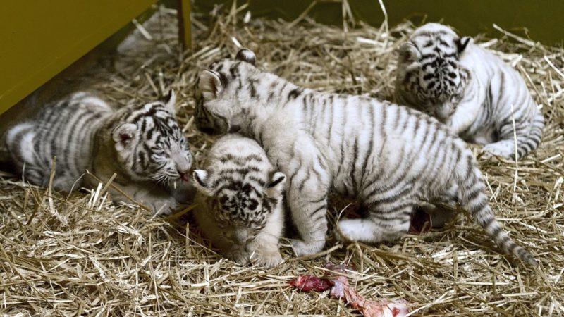 Gyõr, 2018. november 27. A gyõri állatkert másfél hónapja született fehér tigriskölykei (Panthera tigris) 2018. november 27-én. MTI/Krizsán Csaba