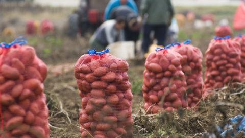 Levelek, 2009. október 12. Napszámosok szedik fel a burgonyát Kristófi Sándor leveleki mezõgazdasági vállalkozó burgonyaföldjén. A 45 hektáron termelõ gazda fõ profilja a dohány, de mellette burgonyát, káposztát, paradicsomot, napraforgót és kukoricát is termel. Idén a dohánytermesztés kivételével mind veszteséges volt, a burgonyáért például a két évvel ezelõtti 60 forintos ár helyett most 30 forintot kínálnak kilónként a felvásárlók. MTI Fotó: Balázs Attila
