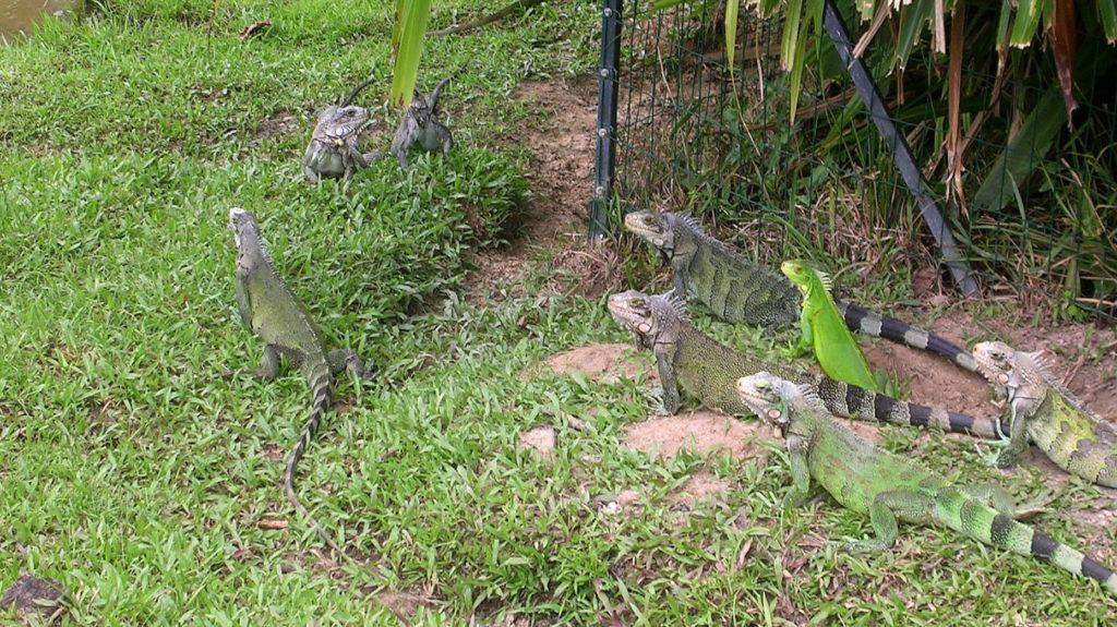 Cacao, 2013. március 13. Iguánák pihennek a dél-amerikai kontinensen elterülõ Francia Guyanában 2013. március 13-án, ahol a világon a legnagyobb a biológiai sokszínûség. A 84 ezer négyzetkilométer 94 százalékát õserdõ borítja, ez határozza meg az itt élõk életét. MTI Fotó: Venczel Katalin