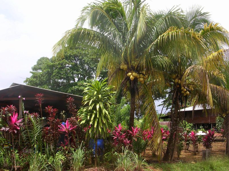 Cacao, 2013. március 13. Kókuszpálmák Cacao településen, a dél-amerikai kontinensen elterülõ Francia Guyanában 2013. március 13-án, ahol a világon a legnagyobb a biológiai sokszínûség. A 84 ezer négyzetkilométer 94 százalékát õserdõ borítja, ez határozza meg az itt élõk életét. MTI Fotó: Venczel Katalin