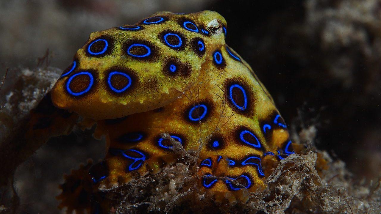 Mérgező állatok: A kékgyűrűs polip