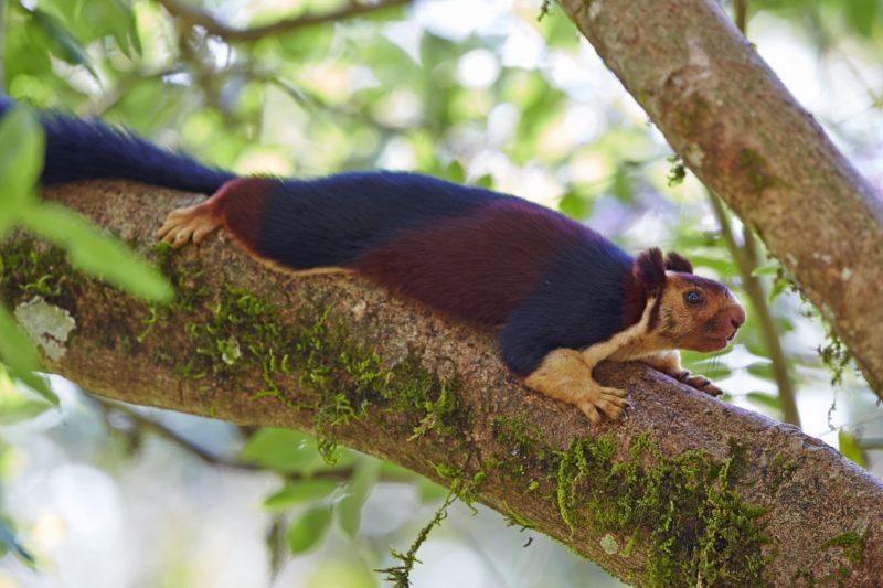 India, Tamil Nadu state, Anaimalai Mountain Range (Nilgiri hills), Indian giant squirrel, or Malabar giant squirrel, (Ratufa indica)