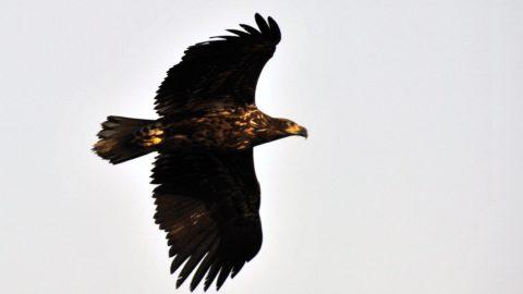 Tamási, 2015. február 19. Rétisas (Haliaeetus albicilla) repül a Pacsmagi Halastavak Természetvédelmi Területen, Tamási közelében 2015. február 16-án. MTI Fotó: Kovács Attila