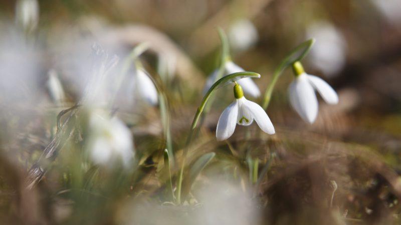 Pogányszentpéter, 2018. január 30. Nyílik a hóvirág a Somogy megyei Pogányszentpéter közelében 2018. január 30-án. MTI Fotó: Varga György