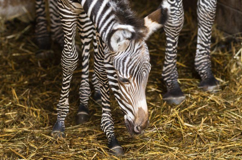 Nyíregyháza, 2019. január 3. Háromnapos Grévy-zebra (Equus grevyi) a Nyíregyházi Állatparkban 2019. január 3-án. A Grévy a legnagyobb termetû zebrafaj és egyben a legnagyobb vadon élõ lóféle. MTI/Balázs Attila