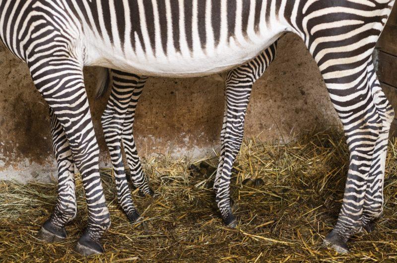 Nyíregyháza, 2019. január 3. Háromnapos Grévy-zebra (Equus grevyi) anyjával a Nyíregyházi Állatparkban 2019. január 3-án. A Grévy a legnagyobb termetû zebrafaj és egyben a legnagyobb vadon élõ lóféle. MTI/Balázs Attila