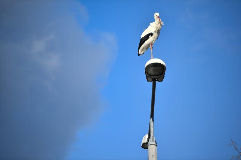 Hortobágy, 2019. január 3. Fehér gólya (Ciconia ciconia) egy villanyoszlopon Hortobágyon 2019. január 3-án. Helybeliek megfigyelése szerint a vadon élõ gólya már évek óta nem repül el a településrõl, és mindig ugyanazon az oszlopon pihen. MTI/Czeglédi Zsolt