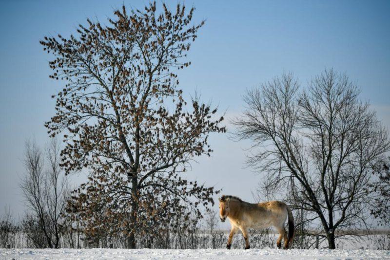 Hortobágy község, 2019. január 10. Ázsiai vadló (Przewalski-ló, Equus ferus przewalskii) a Hortobágyi Nemzeti Park (HNP) területén a havas pusztában 2019. január 10-én. MTI/Czeglédi Zsolt