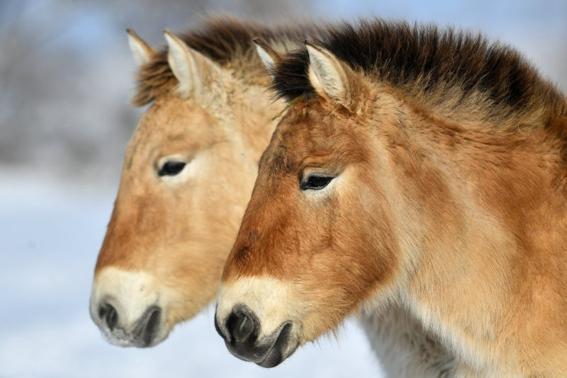 Hortobágy község, 2019. január 10. Ázsiai vadlovak (Przewalski-ló, Equus ferus przewalskii) a Hortobágyi Nemzeti Park (HNP) területén a havas pusztában 2019. január 10-én. MTI/Czeglédi Zsolt
